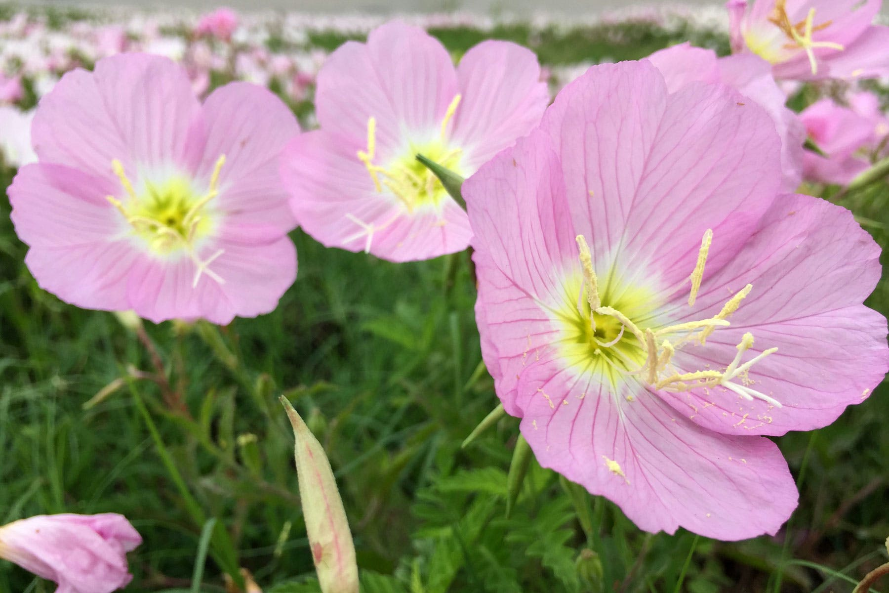 texas-wildflower-pink-buttercups-fort-bend-county