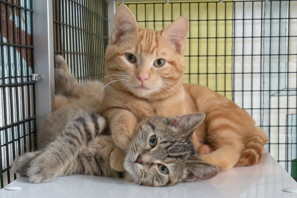 june-national-adopt-a-cat-month
