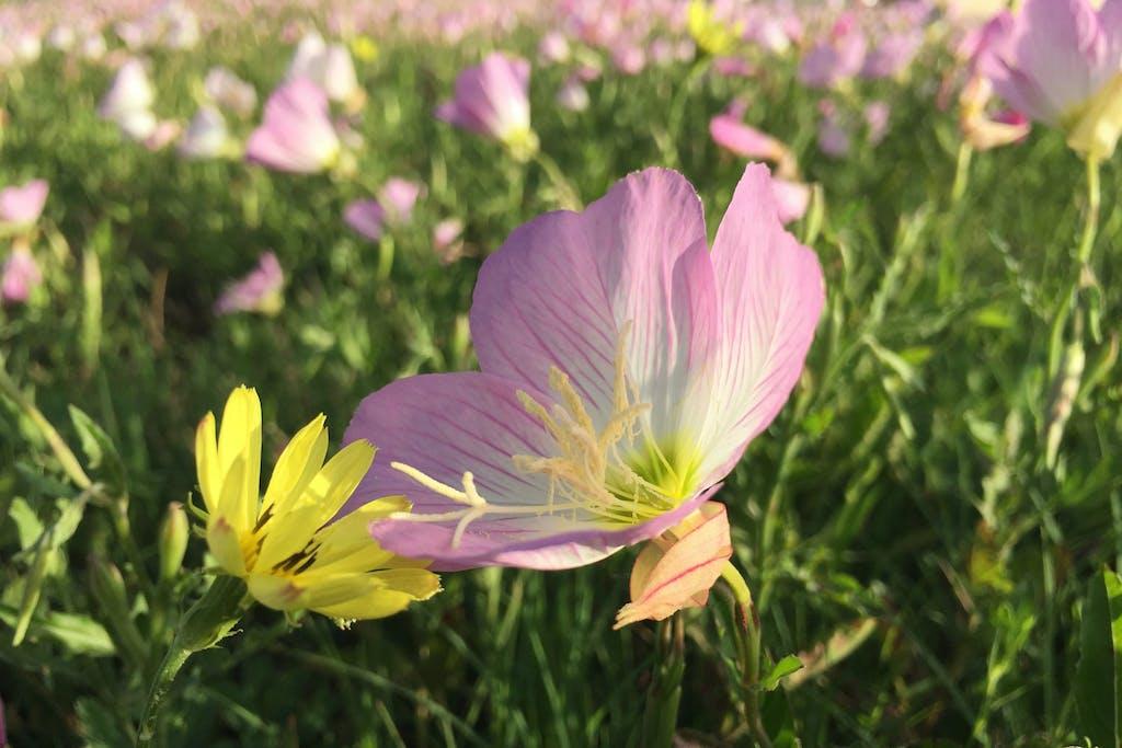 texas-wildflower-pink-buttercups-fort-bend-4